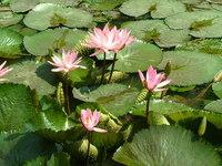 Lotus Garden #3