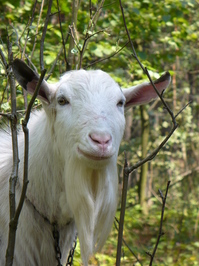 Family of goats 1