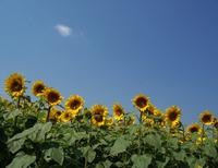 Sunflowers in the sunny sun 2