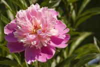 Pink peony 2