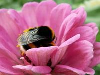 Bumblebee 1