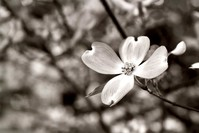 Single Dogwood Bloom