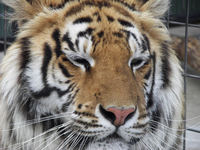 Bengal Tiger 6