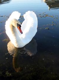 Swan portrait 2