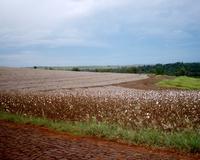 Cotton 3