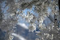 Fir Tree Frost 3