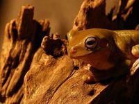 litle frog Litoria caerulea