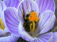 bumblebee inside croccus