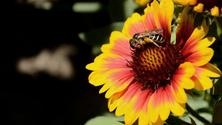 Gaillardia and Bee