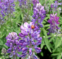 lupines 'n lady bug 1