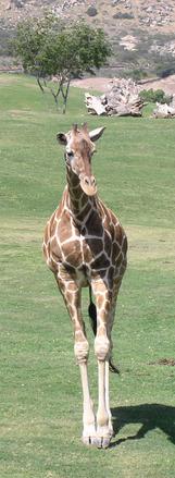 Giraffe Up Close 1