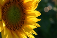 Sunflower in a hot summer