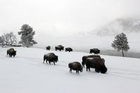 Winter Buffalo 1