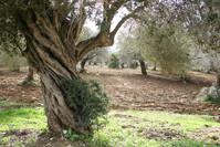 Olives orchard 2