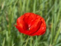Poppy - Polski mak