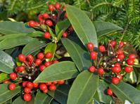 Winter/Christmas Berries