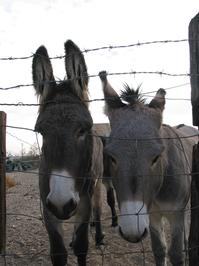 Trapped Donkeys