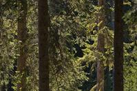 Fir tree forest 1