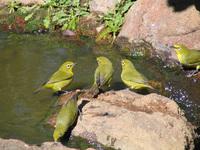 Cape White-eye Sunbird