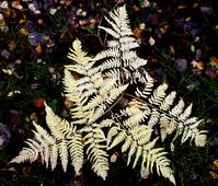 Fern leaf in autumn