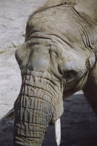 Elephant Skin 2
