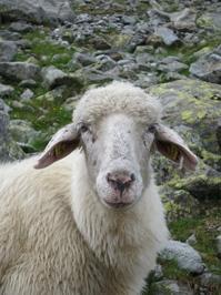Sheep in Austria
