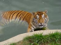 Tiger taking a bath
