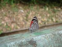 Butterfly Iguazu Falls, Brazil side
