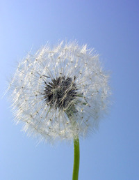 dandelions old 5