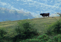 singular cow