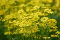 Yellow daisyes