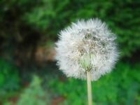 Dandelion's flower
