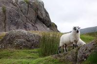 Sheep in Ireland 1