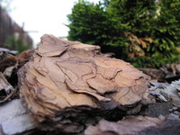 wood bark1