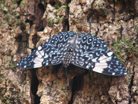 A Brazilian Butterfly