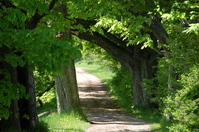 Chesnut tree in spring