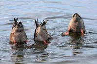 Ducks,Mallards,Nature,Outdoors,Water,Feeding,Feathers,Tails