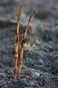 Horsetails - Equisetum
