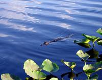 Florida Alligator 02