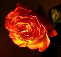 rose by lamp light