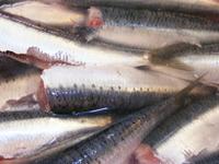 sardine fish 2