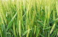 Green Wheat Close-up