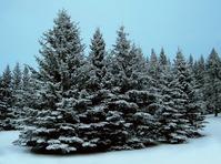 Fresh Snow Spruce