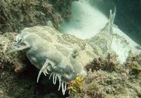 wobbegong or carpet shark