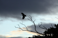 Crow in silouette