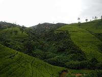 teahills