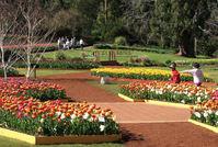 Araluen Park tulips 1