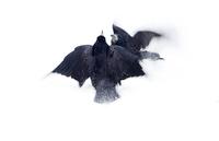 black raven 3