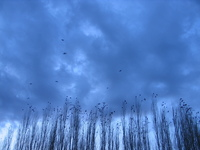 Crows like grains in the wheats 03