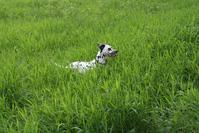 Dog in high gras